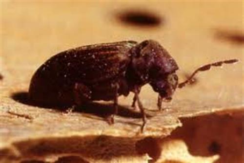 Parasites du bois