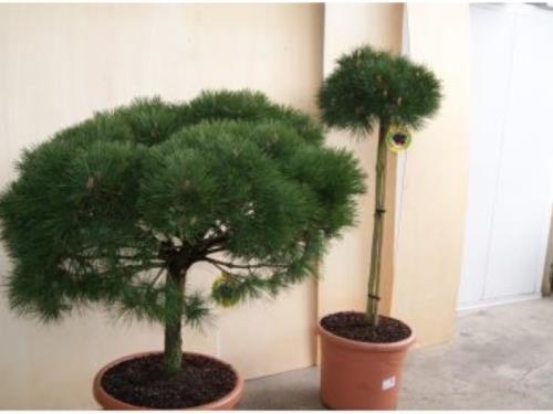Plante solitaire d'extérieur