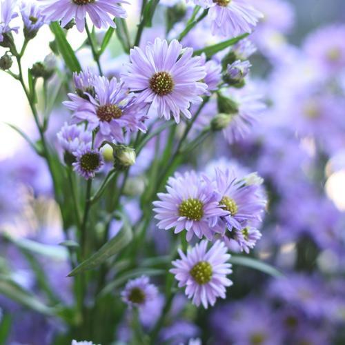 Nos fleurs - marguerites
