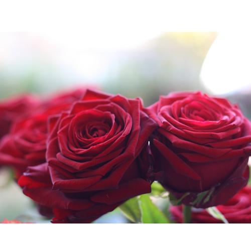 Nos fleurs - les roses