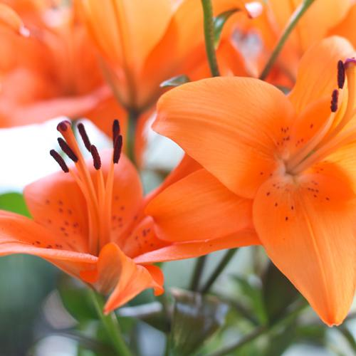 Nos fleurs - lys